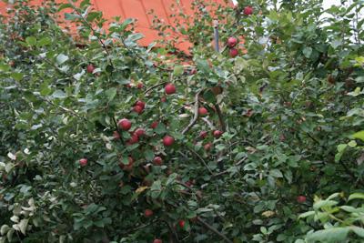 наклонная посадка яблонь