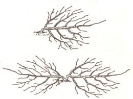 Одноплечный и двухплечный стланцы яблонь
