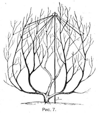 схема поднятия яблони