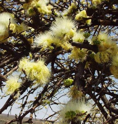Альбиция противоглистная ( Albizia anthelmintica )