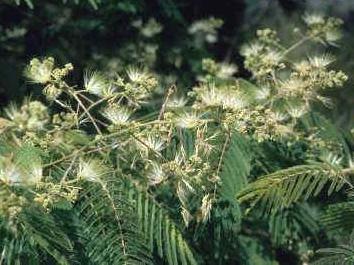 Альбиция китайская ( Albizia chinensis )