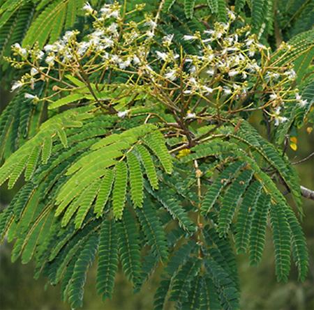 Альбиция серповидная ( Albizia falcataria / moluccana )