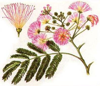 Альбиция ленкоранская, Шелковое дерево, акация шелковая ( Albizia julibrissin )