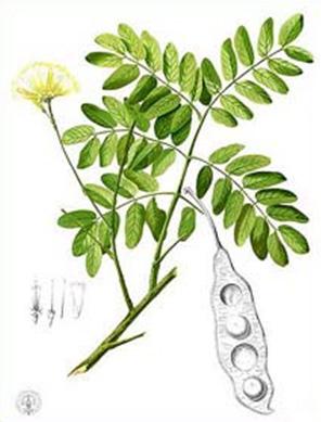 Альбиция леббек ( Albizia lebbek ) Шириша