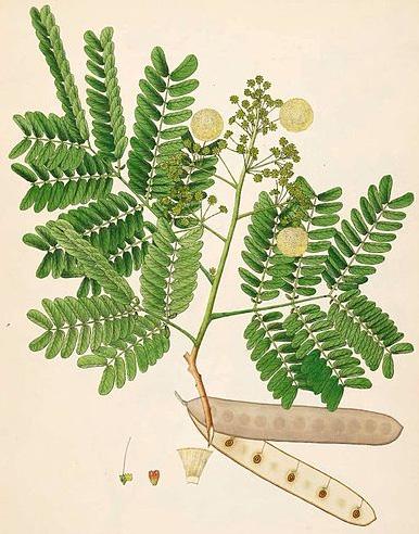 Альбиция душистейшая ( Albizia odoratissima )